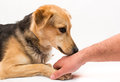 Obedience training dog sniffing a man s hand dressage Stock Image