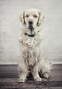 Obedient and calm dog waiting for its master Royalty Free Stock Image