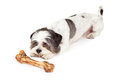 Obedient Dog Waiting For Bone Royalty Free Stock Photo