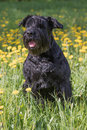 Obedient Giant Black Schnauzer Dog. Vertically. Royalty Free Stock Photo
