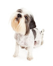 Obedient Lhasa Apso Dog Sitting Over White Royalty Free Stock Photo