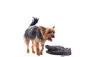 Obedient little yorkshire terrier walking past a pair of old shoes and ignoring them during an obedience training session over Stock Photography