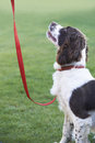 Obedient spaniel dog on leash outdoors sitting Stock Photo