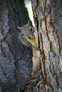 Observação do esquilo Fotografia de Stock