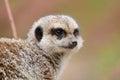 Observant meerkat