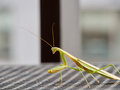 Observant praying mantis resting in the sun closeup of outdoors on a steel table sunshine Royalty Free Stock Photo