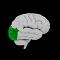 Occipital lobe human brain in side view Royalty Free Stock Photo