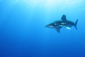 Oceanic White Tip shark (Carcharinus longimanus) Stock Photo