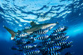 Oceanic whitetip shark with pilot fish red sea egypt Royalty Free Stock Photo