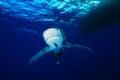 Oceanic whitetip shark red sea egypt Royalty Free Stock Photo