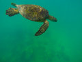 Oceans beauty sea turtle waikiki beach oahu hawaii Royalty Free Stock Photography