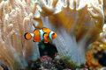 Ocellaris clownfish Stock Photography