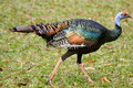 Ocellated Turkey Trot Royalty Free Stock Photo