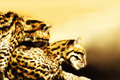 Ocelot couple (Leoparus pardalis) Royalty Free Stock Photo