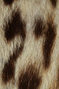 Ocelot fur detail closeup of texture Stock Images