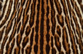 Ocelot fur texture background of real Royalty Free Stock Photography