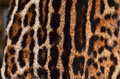 Ocelot,leopard and jaguar fur Royalty Free Stock Image