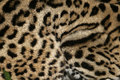 Ocelot leopardus pardalis single cat in belize Stock Images