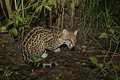 Ocelot leopardus pardalis single cat in belize Royalty Free Stock Photo