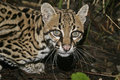 Ocelot leopardus pardalis single cat in belize Stock Photos