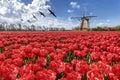 Oche che sorvolano l'azienda agricola rossa senza fine del tulipano