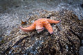 Ochre Sea Star on a rock Royalty Free Stock Photos