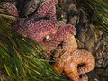stock image of  Ochre Sea Stars in a tide pool with seaweed