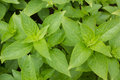 Ocimum basilicum Royalty Free Stock Photo