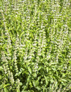 Ocimum basilicum plants plant natural food cooking Stock Photo