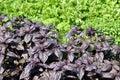 Ocimum basilicum purpureum purple basils in garden under sunny Royalty Free Stock Photos