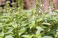 Ocimum basilicum vegetables or herbs have medicinal properties Royalty Free Stock Image