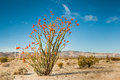 Ocotillo in Bloom Royalty Free Stock Photo