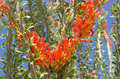 Ocotillo cactus blooms a closeup image of the on a Stock Photo