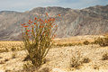 Ocotillo ocotillio plant with bright crimson flowers and stark mountains in background Stock Photos