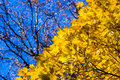 October blues yellow leaves and black branches of a maple tree against the background of blue sky cheerfulness keeps up a Stock Image