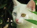 Odd eyed coloring white cat - Heterochromia iridum Royalty Free Stock Photo