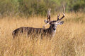 Odd racked whitetail buck Royalty Free Stock Photo