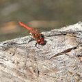 Odonata dragonfly resting in the sun getting heat Stock Image