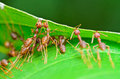 Oecophylla smaragdina common names include weaver ant ants are working together to build a nest Royalty Free Stock Images