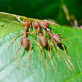 Oecophylla smaragdina common names include weaver ant green an ants are working together to build a nest Stock Images