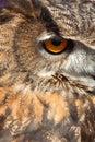 Oeil de hibou Photos libres de droits