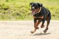 Off Leash Rottweiler Dog Royalty Free Stock Photo