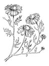 Officinalis medical plant engraving style vector