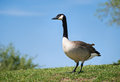 Oie de canada canadensis de branta Photo stock
