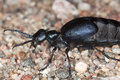 Oil beetle on ground. Royalty Free Stock Photos