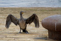 Oil covered cormorant 2 Royalty Free Stock Photo