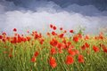 Oil painting summer landscape - field of poppies.