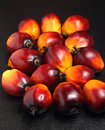 Oil palm fruit a batch of fruits on black simple background Stock Image