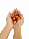 Oil palm fruit on hand with isolated background Stock Photo