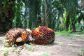 Oil palm fruits in plantation harvested Royalty Free Stock Image